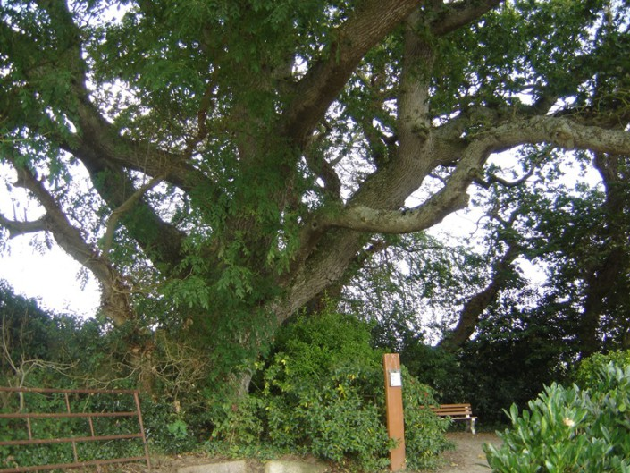le gros chêne à Saint-Pierre-Eglise
